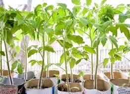 Вирощування розсади томатів — посадка насіння