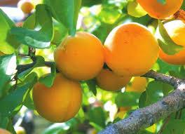 Мій улюблений фрукт: як отримати великий урожай абрикосів?