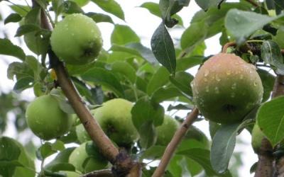 Чудо-дерево: на одній стороні яблука, на іншій — груші