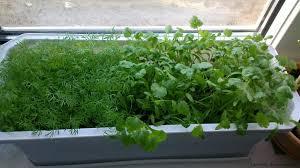 Зелень: що можна виростити на підвіконні
