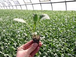 Швидкість проростання насіння овочів