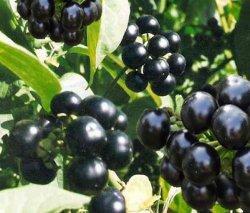 Санберрі — урожайна ягода