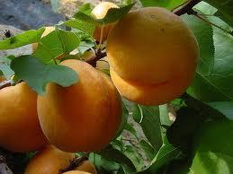 Як врятувати абрикос від весняних заморозків
