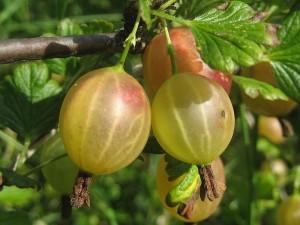 Секрети вирощування агрусу