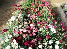 Гвоздика садова: вирощування та догляд