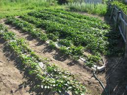 Як правильно та коли садити картоплю і отримати найвищий урожай картоплі?
