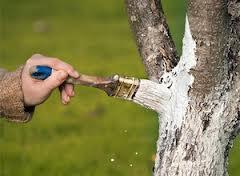 Чи потрібно білити весною плодові дерева?