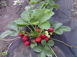 Чи можна садити різні сорти полуниці поруч?