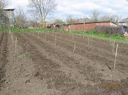 Що можна посадити в міжряддях саду