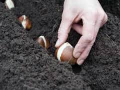 Чи можна пересаджувати тюльпани весною. Терміни пересадки тюльпанів