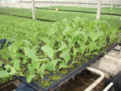 Вирощування розсади та оптимальні терміни посіву насіння