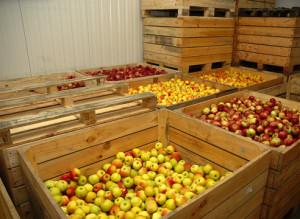 Як зберегти яблука свіжими до кінця зими