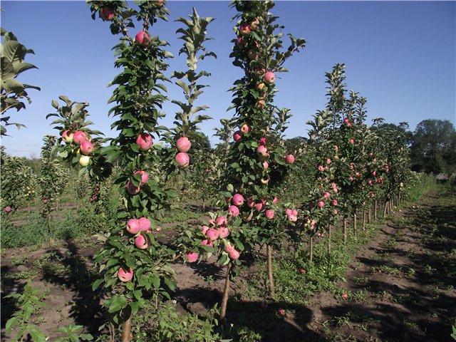 Як самостійно розмножити колоновидні яблуні