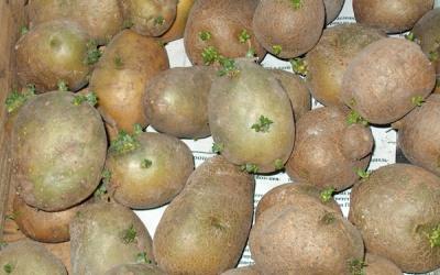 Чи необхідна обробка картоплі перед посадкою?
