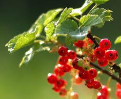 Варення з червоної смородини (порічок): кращі перевірені рецепти