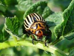 Як позбутися колорадського жука