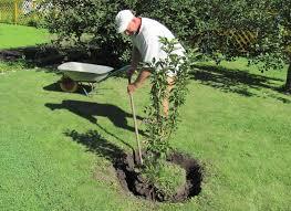 Коли краще та як пересаджувати плодові дерева?