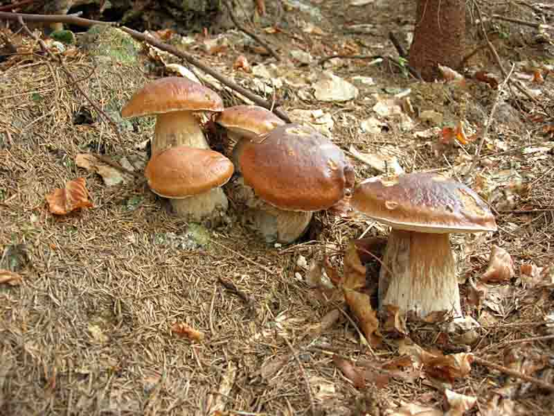 Що варто пам'ятати відправляючись по гриби в Карпатські ліси