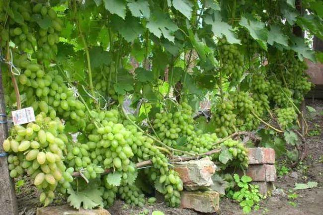 Виноград Тимур: особенности и уход